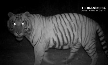 6 Arti Mimpi Bertemu Harimau dalam Pandangan Islam