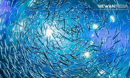 8 Faktor Alami yang Mempengaruhi Jumlah Ikan di Lautan
