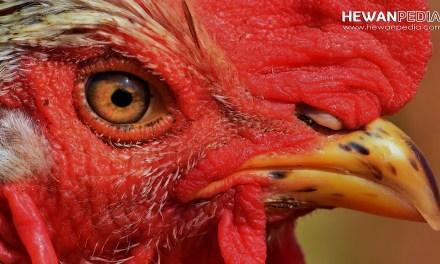 7 Jenis Ayam Suro beserta Kelebihan dan Cirinya menurut Primbon