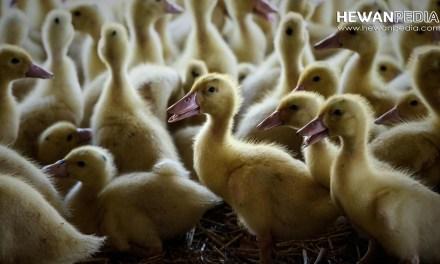 Jadwal dan Jenis Program Vaksin untuk Bebek Itik