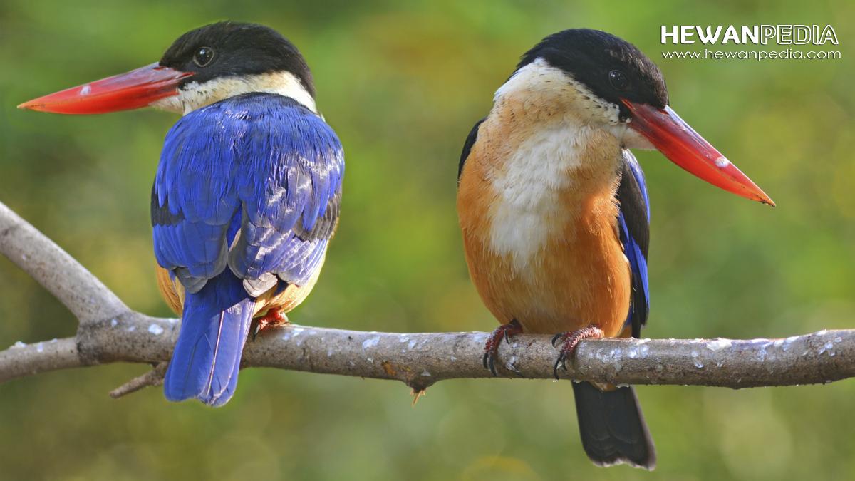 Mengenal Burung Raja Udang Dan Ciri Cirinya Hewanpedia