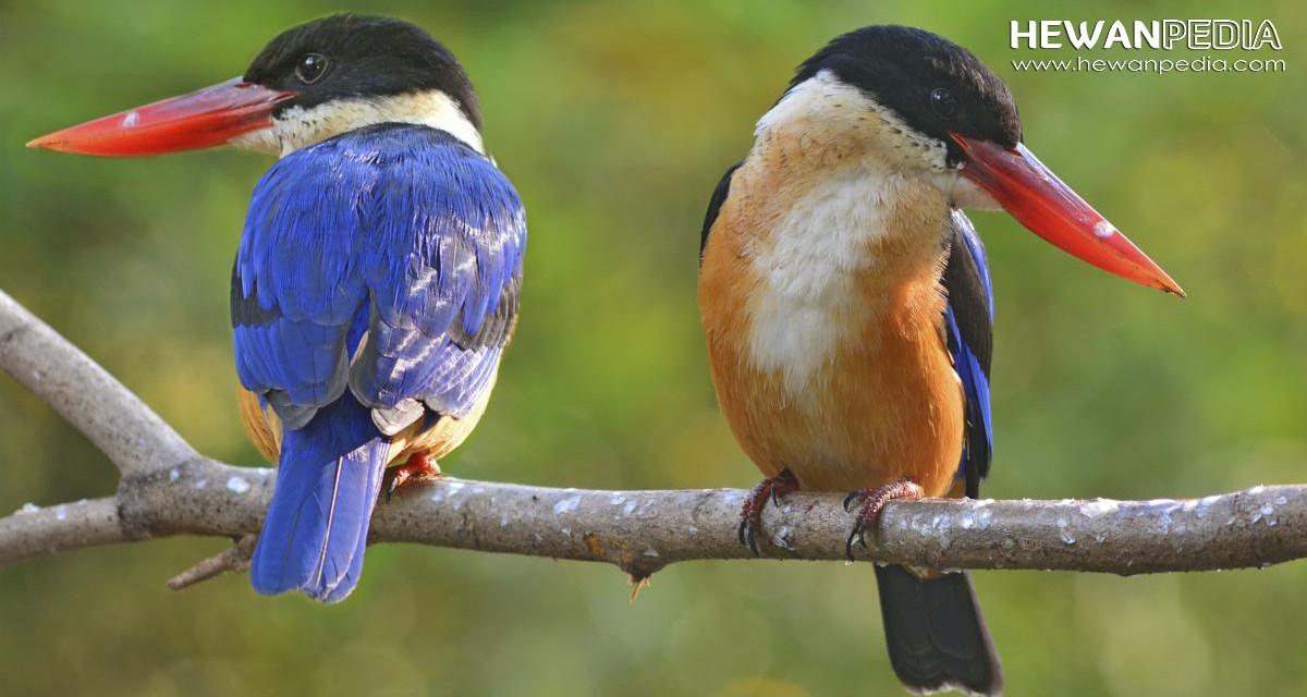 Mengenal Burung Raja Udang dan Ciri-cirinya