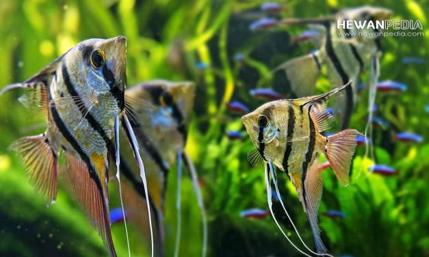 4 Jenis Ikan Manfis Hias beserta Ciri dan Merawatnya