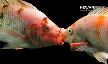 Perbedaan Antara Ikan Nila Jantan Dan Betina