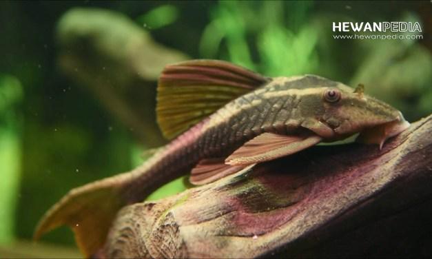 7 Jenis Ikan Sapu-Sapu Hias dan Kisaran Harga