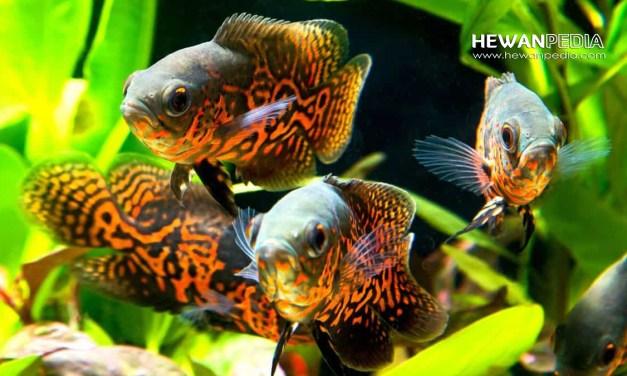 8 Jenis dan Harga Ikan Oscar Beserta Cara Merawatnya