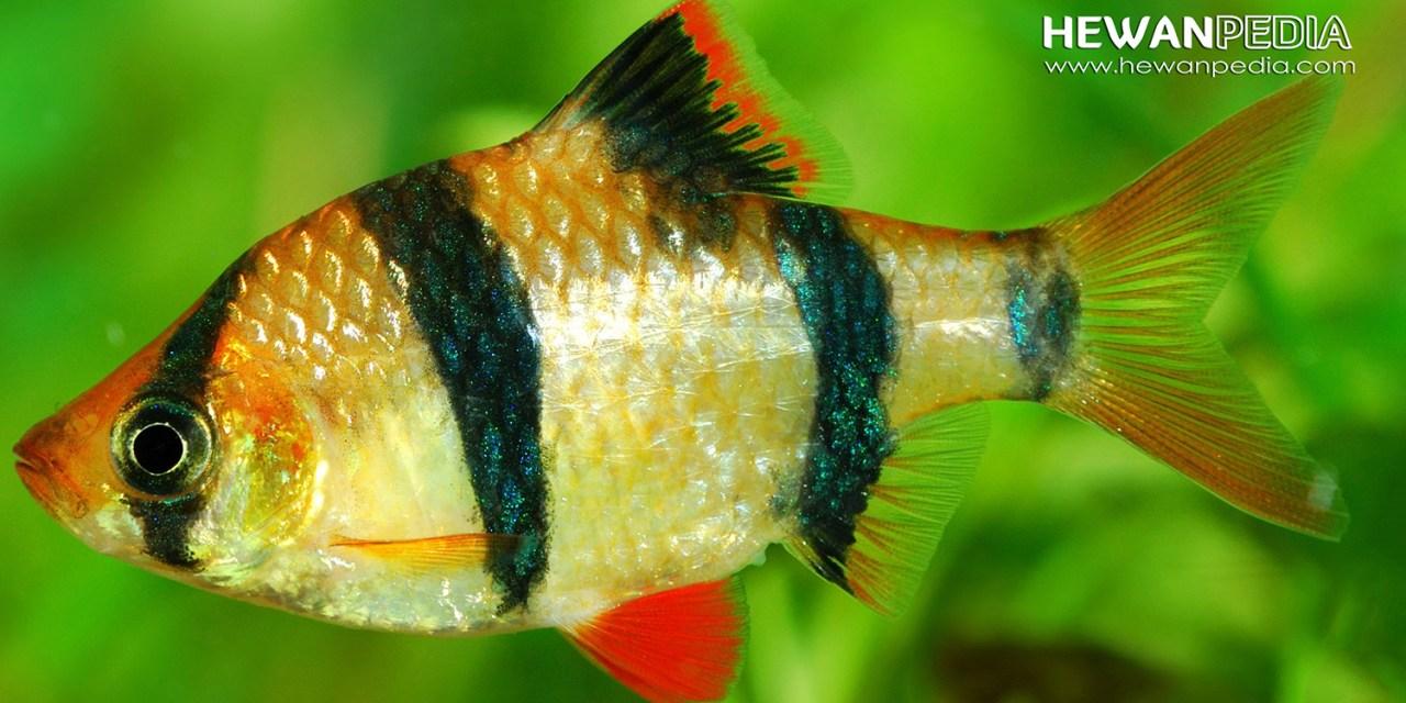 Panduan Lengkap Cara Memelihara Ikan Sumatra agar Tidak Cepat Mati