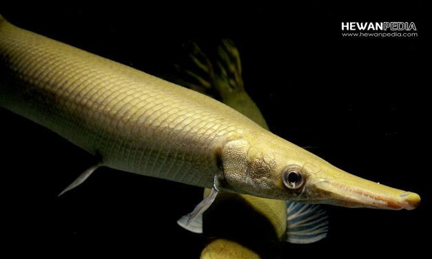6 Jenis ikan Alliagator Jar dan Cara Pemberian Pakan