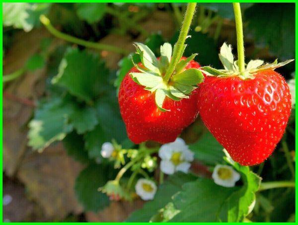 cara menanam stroberi biar cepat berbuah, cara menanam stroberi di pot, cara menanam stroberi di daerah panas, cara menanam stroberi agar berbuah lebat, cara menanam stroberi agar buahnya besar, cara menanam stroberi agar berbuah, cara menanam stroberi agar berbuah banyak, cara menanam stroberi agar subur, cara menanam strawberry agar cepat berbuah, cara menanam strawberry agar berbuah lebat, cara menanam stroberi yang benar