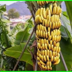 buah pisang ambon, buah pisang bermanfaat untuk, buah pisang cepat berbuah, vitamin di buah pisang, kandungan di buah pisang, fungsi buah pisang, cara mengawetkan buah pisang, cara menjaga buah pisang agar tidak cepat busuk, menjaga buah pisang agar tetap segar dan beraroma