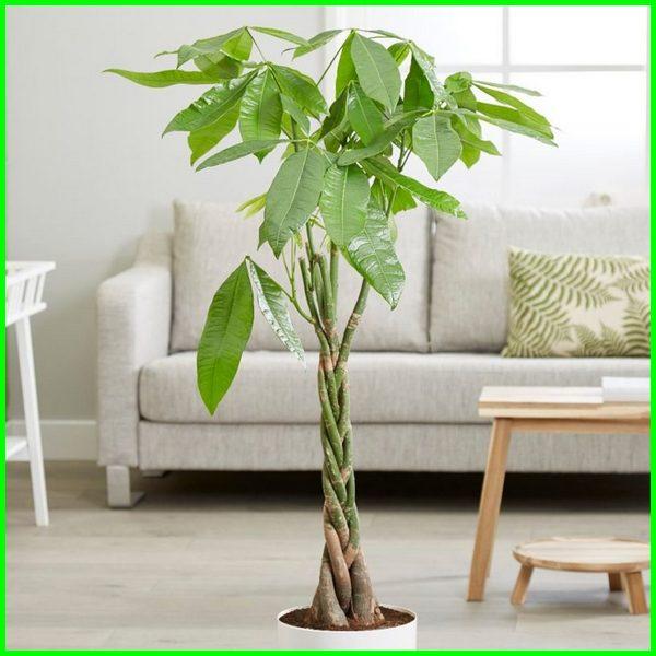 tanaman pachira money tree, tanaman pachira atau pohon uang, tanaman pachira wikipedia, manfaat tanaman pachira, gambar tanaman pachira, manfaat tanaman pachira aquatica