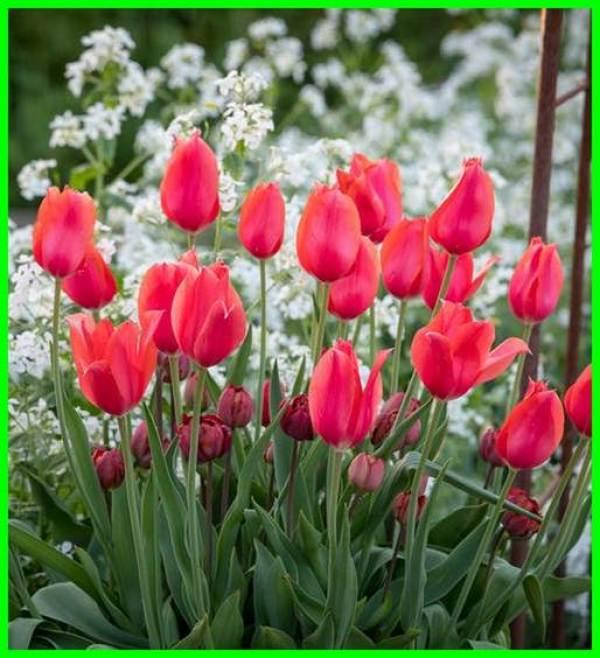 bunga tulip, bunga tulip dikenal sebagai bunga negara, bunga tulip berasal dari negara, bunga tulip berkembang biak dengan cara, bunga tulip berasal dari, bunga tulip belanda, bunga tulip berasal dari mana, bunga tulip arti, bunga tulip ciri-cirinya, bunga tulip ciri ciri