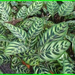 cara menanam bunga calathea, cara merawat tanaman hias calathea, cara menanam calathea, cara merawat tanaman calathea, cara budidaya calathea, cara merawat bunga calathea, cara perawatan tanaman calathea, merawat tanaman calathea