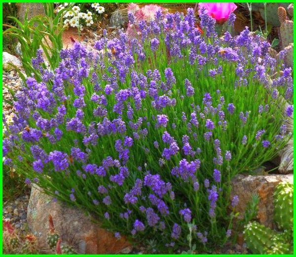 bunga lavender, bunga lavender lokal, gambar bunga lavender, bunga lavender asli, jenis bunga lavender, bunga lavender ungu, bunga lavender pengusir nyamuk, bunga lavender indonesia, gambar lavender, foto bunga lavender, gambar bunga lavender ungu