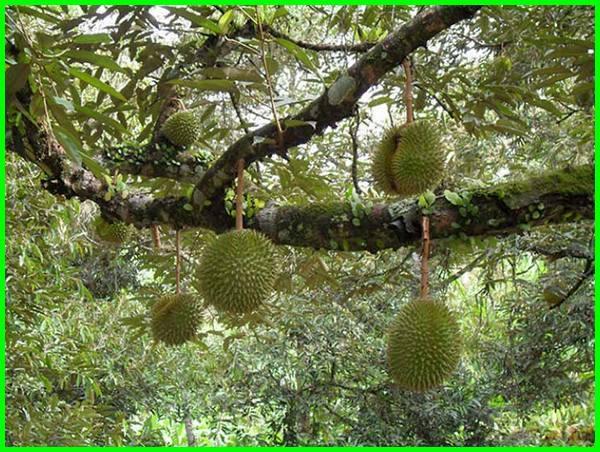 daerah penghasil durian di indonesia, daerah penghasil buah durian di indonesia, daerah penghasil durian terbesar di indonesia, daerah penghasil durian terbaik di indonesia