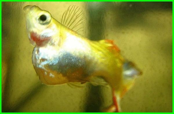 penyakit ikan guppy dan cara mengatasinya, cara mengatasi penyakit ikan guppy, cara mengobati penyakit ikan guppy, mengatasi penyakit ikan guppy, jenis penyakit ikan guppy, macam macam penyakit ikan guppy, penyakit ekor ikan guppy, penyakit sisik nanas pada ikan guppy, obat penyakit ikan guppy, penyakit ikan guppy perut besar