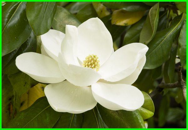 bunga magnolia di indonesia, bunga magnolia adalah, bunga magnolia putih, filosofi bunga magnolia, fakta bunga magnolia, gambar bunga magnolia, jenis bunga magnolia, khasiat bunga magnolia, karakter bunga magnolia, keunggulan bunga magnolia, manfaat bunga magnolia, motif bunga magnolia, pohon bunga magnolia, tanaman bunga magnolia, tentang bunga magnolia, bunga magnolia wikipedia, wangi bunga magnolia, warna bunga magnolia, taman bunga terindah di jawa timur, taman bunga terindah di jawa tengah