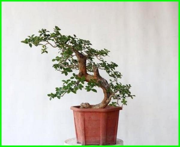 bonsai tanaman liar, tanaman untuk bonsai, pohon yang cocok untuk bonsai, gambar tanaman bonsai, tanaman liar untuk bonsai, tanaman bonsai adalah, jenis tanaman untuk bonsai, tanaman yg cocok untuk bonsai, tanaman bonsai untuk pemula, tanaman bonsai hias