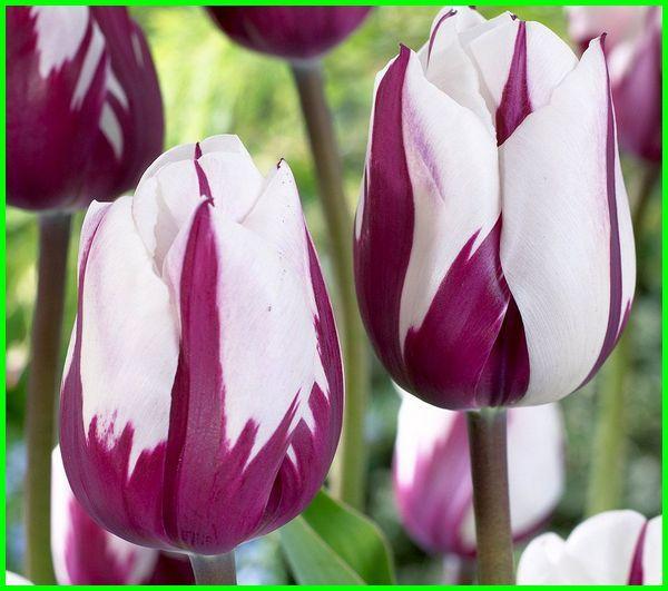 bunga tulip ungu, tulip ungu, gambar bunga tulip ungu, bunga tulip ungu mekar, bunga tulip warna ungu, arti bunga tulip ungu, gambar bunga tulip warna ungu, gambar tulip ungu