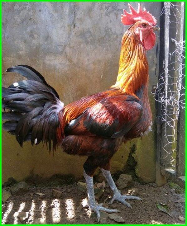 ayam pelung, ayam pelung jumbo, ayam pelung juara, ayam pelung asli, ayam pelung cianjur, ayam pelung juara nasional, ayam pelung garut, hayam pelung, ayam pelung super, ayam pelung jumbo cianjur, ayam pelung adalah, ayam pelung warna jali
