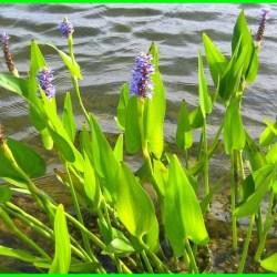 tanaman air di kolam, apa saja tanaman air, tanaman air di kolam ikan, tumbuhan air untuk kolam, tumbuhan air kolam, tanaman air buat kolam, manfaat tanaman air untuk kolam ikan, manfaat tanaman air pada kolam ikan