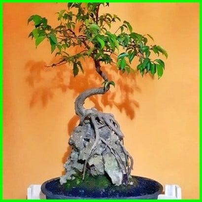 bonsai batu karang, bonsai dibatu karang