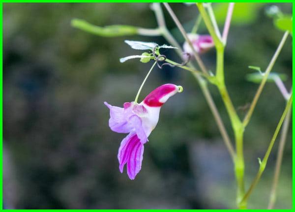 Impatiens psittacina, bunga mirip burung, bunga yang mirip burung, bunga seperti burung, bunga mirip bambu