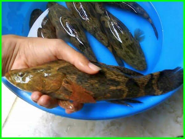 cara membedakan ikan betutu jantan dan betina, cara merawat ikan betutu, cara memijahkan ikan betutu secara alami, foto ikan betutu, apa itu ikan betutu, cara beternak ikan betutu, cara berkembang biak ikan betutu, ikan betutu berkembang biak dengan cara, bentuk ikan betutu