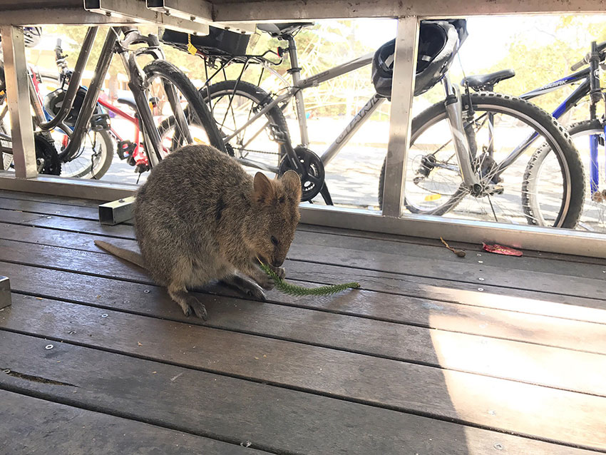 A quokka eating a plant around a seating area