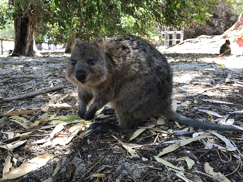 A quokka up close, looks like it is smiling
