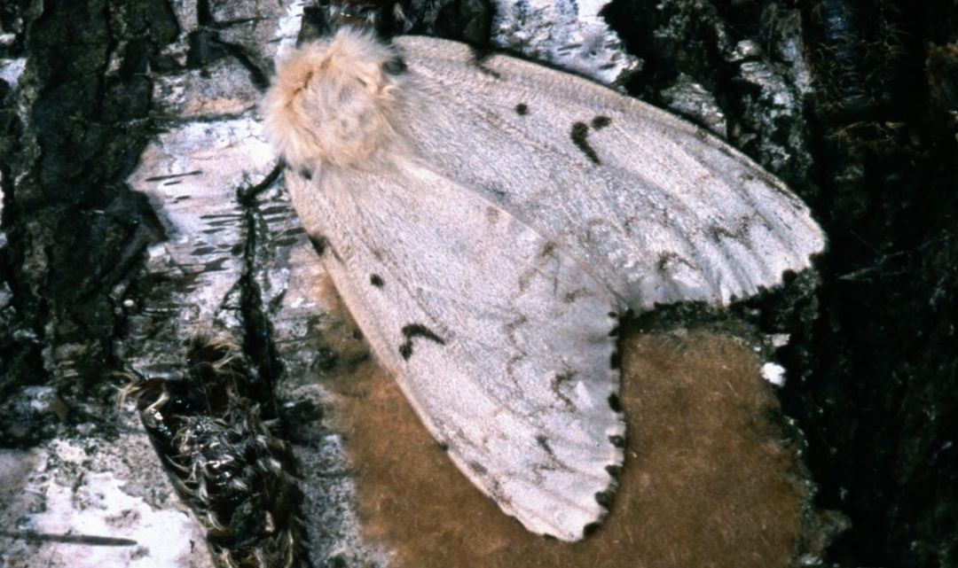 How to make your own Gypsy Moth Pheromone lure
