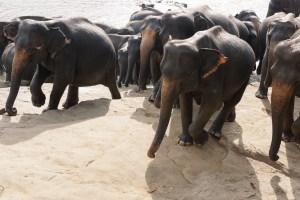Sri Lanka | Pinnawela Elephant Orphanage