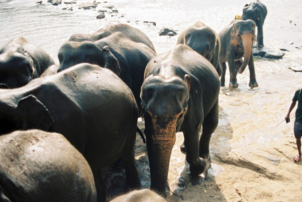 HDYTI at Pinnawela elephant orphanage | Elephants walking up the hill