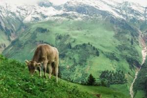 Grazing Braunvieh mountain cow, Gastronomy in Vorarlberg, Austria