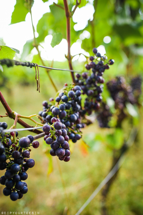 Grapes on the vine || Five Vineyards to Visit in Kent