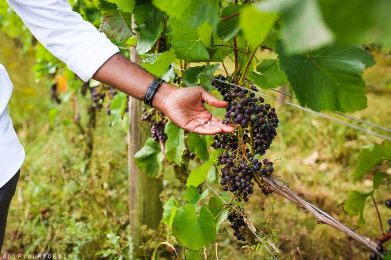 Vineyard tours at Terlingham Vineyard