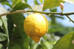 Lemon: mosquitoes, ticks,