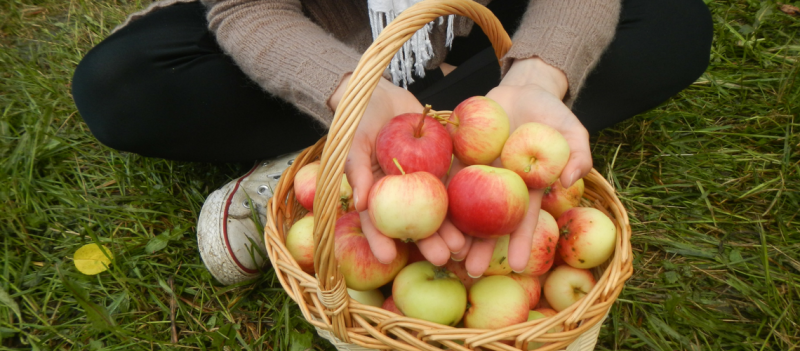Harvesting Free Apples in Helsinki