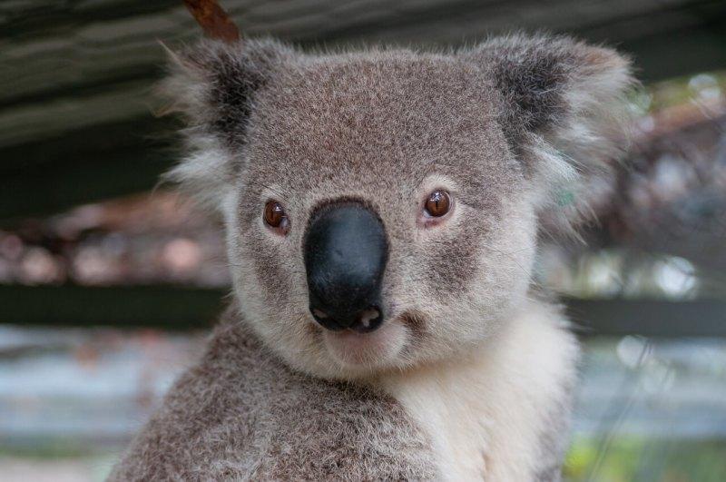 Kauf Hey Koala