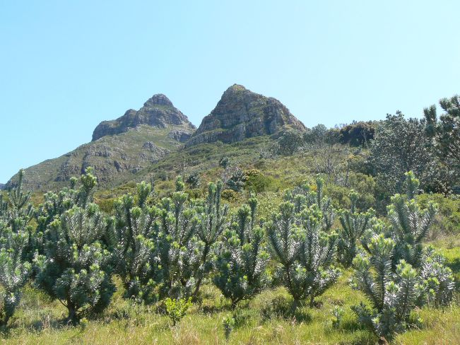 Leucadendron_argenteum_-_Silvertree_Forest_regrowth_-_Table_Mountain_3.jpg