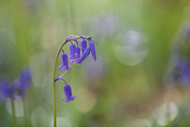 Wilde Hyacint - Scilla non-scripta Hallerbos