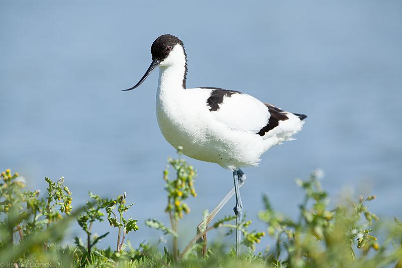 Kluut, Recurvirostra avosetta, Avocet, Säbelschnäbler