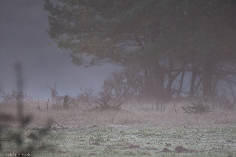 Edelhert in ochtendlicht, veluwe omgeving Hoenderloo (Cervus elaphus), Red Deer, Rothirsch