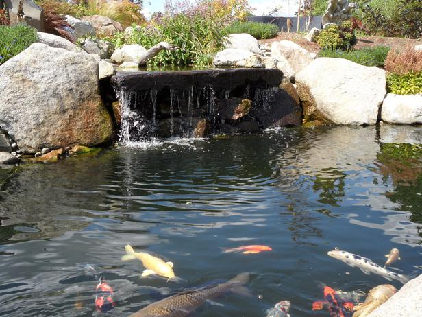 Backyard Koi Pond