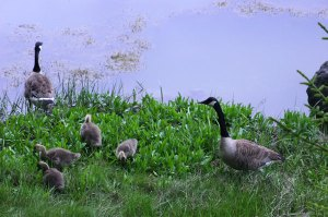 Canada-geese-6-15-09