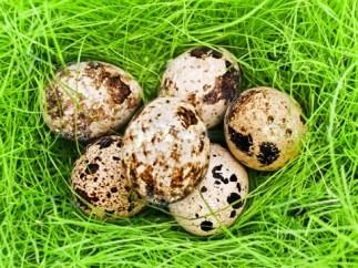 bıldırcın yumurtası2