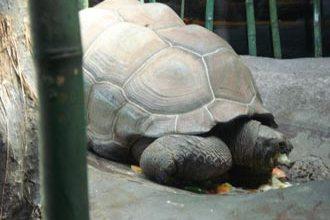 O jabuti gigante é uma das atrações do zoo de Buenos Aires