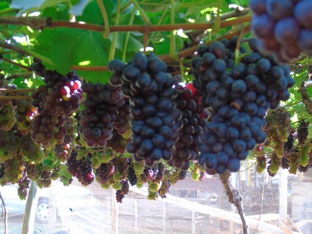 Visitantes podem colher fruta no pé (Foto: Divulgação/Vale das Vitórias)