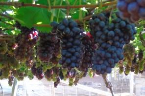 Turismo rural: Urânia oferece colheita de uvas e morangos