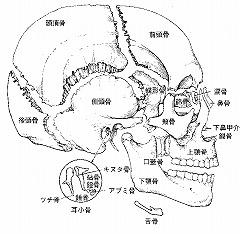 頭蓋骨の構造